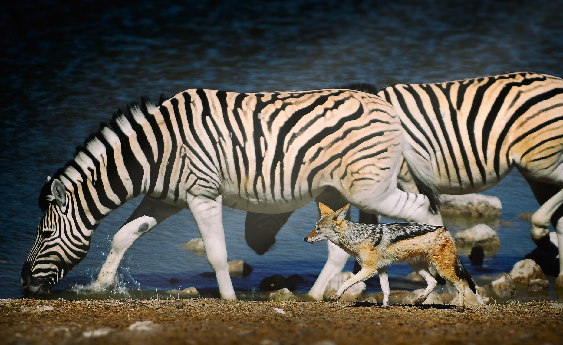 coyote-walking-with-zebras
